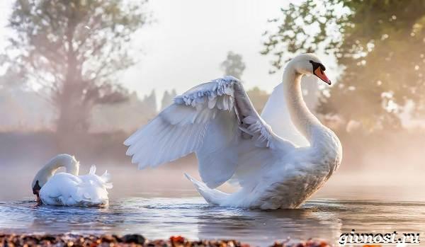 Лебедь-птица-Образ-жизни-и-среда-обитания-лебедя-27