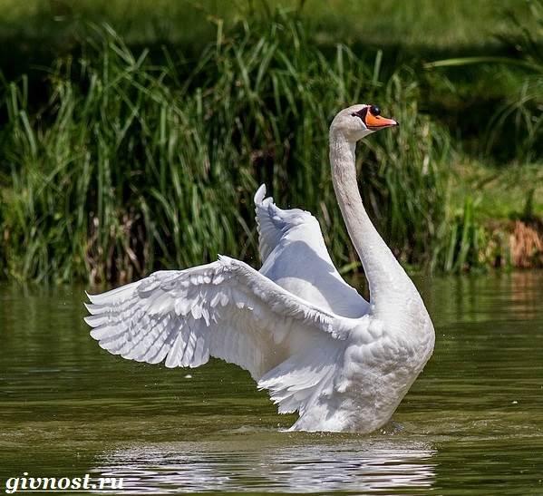 Лебедь-птица-Образ-жизни-и-среда-обитания-лебедя-6
