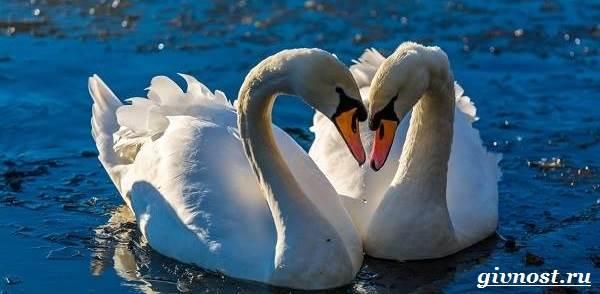 Лебедь-птица-Образ-жизни-и-среда-обитания-лебедя-9