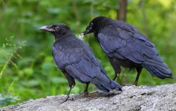 Птицы-Подмосковья-Названия-описания-и-особенности-птиц-Подмосковья-19