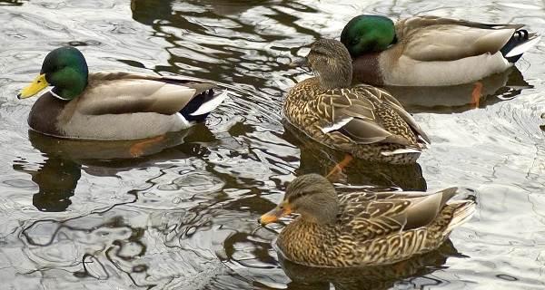 Птицы-Подмосковья-Названия-описания-и-особенности-птиц-Подмосковья-24