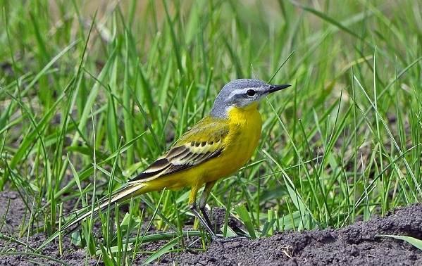 Птицы-Подмосковья-Названия-описания-и-особенности-птиц-Подмосковья-33