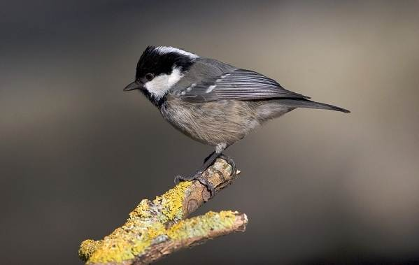 Птицы-Подмосковья-Названия-описания-и-особенности-птиц-Подмосковья-40