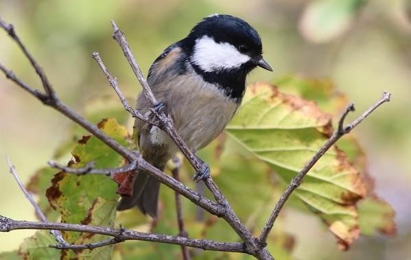 Птицы-Подмосковья-Названия-описания-и-особенности-птиц-Подмосковья-41