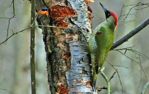 Птицы-Подмосковья-Названия-описания-и-особенности-птиц-Подмосковья-49