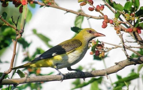 Птицы-Подмосковья-Названия-описания-и-особенности-птиц-Подмосковья-62