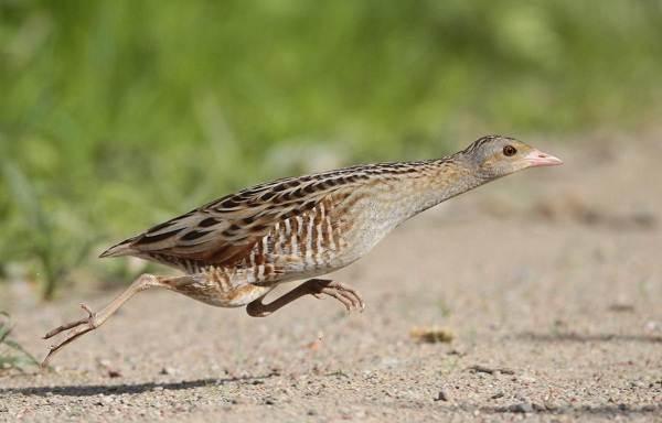 Птицы-Подмосковья-Названия-описания-и-особенности-птиц-Подмосковья-63