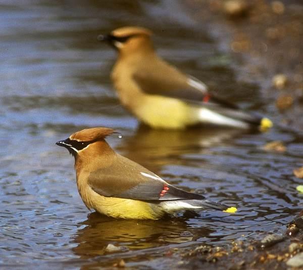Свиристель-птица-Образ-жизни-и-среда-обитания-свиристелей-