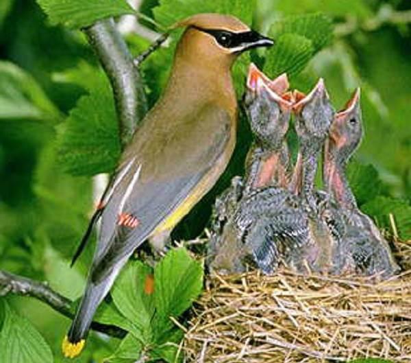 Свиристель-птица-Образ-жизни-и-среда-обитания-свиристелей-11