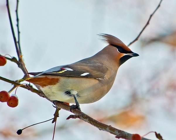 Свиристель-птица-Образ-жизни-и-среда-обитания-свиристелей-7