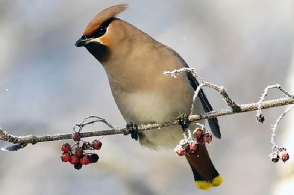 Свиристель-птица-Образ-жизни-и-среда-обитания-свиристелей-9