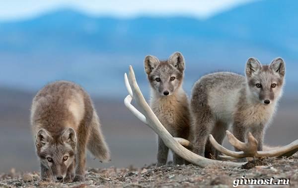Животные-Арктики-Описание-названия-и-особенности-животных-Арктики-12