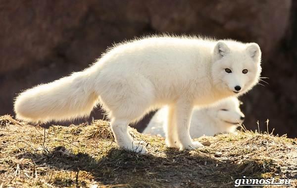 Животные-Арктики-Описание-названия-и-особенности-животных-Арктики-13