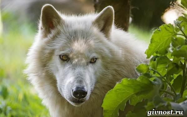 Животные-Арктики-Описание-названия-и-особенности-животных-Арктики-14