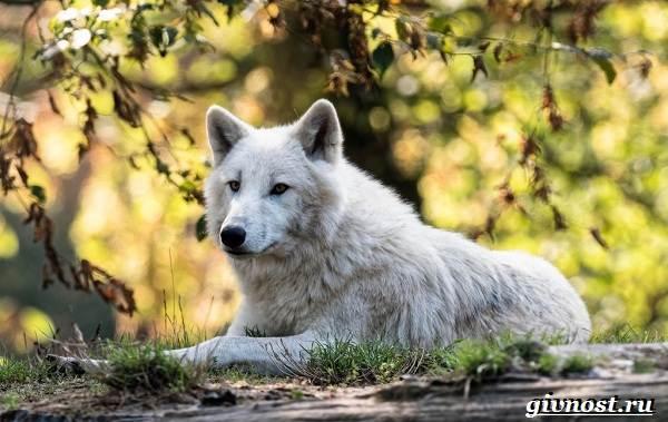 Животные-Арктики-Описание-названия-и-особенности-животных-Арктики-15