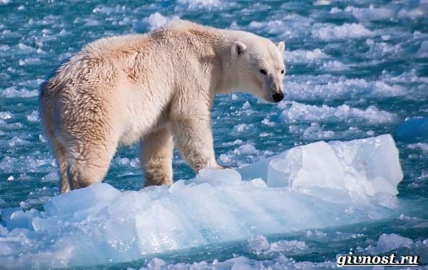 Животные-Арктики-Описание-названия-и-особенности-животных-Арктики-17