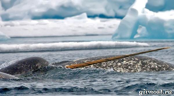 Животные-Арктики-Описание-названия-и-особенности-животных-Арктики-24