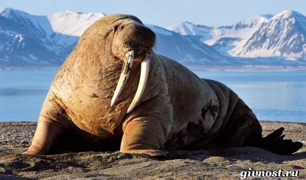 Животные-Арктики-Описание-названия-и-особенности-животных-Арктики-26