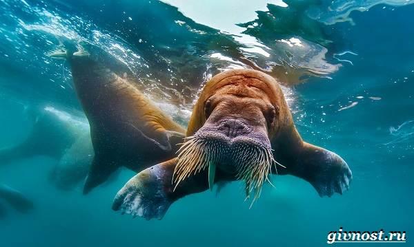 Животные-Арктики-Описание-названия-и-особенности-животных-Арктики-27