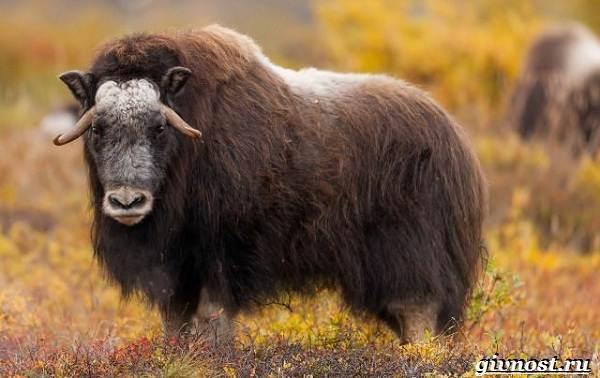 Животные-Арктики-Описание-названия-и-особенности-животных-Арктики-5