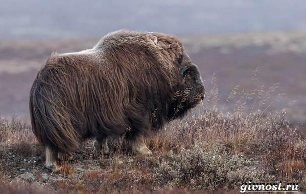 Животные-Арктики-Описание-названия-и-особенности-животных-Арктики-6