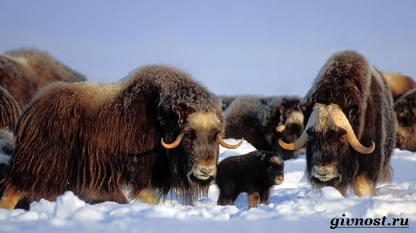 Животные-Арктики-Описание-названия-и-особенности-животных-Арктики-7