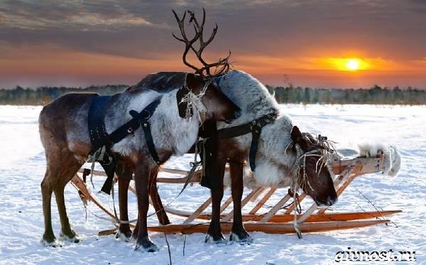 Животные-Арктики-Описание-названия-и-особенности-животных-Арктики-9