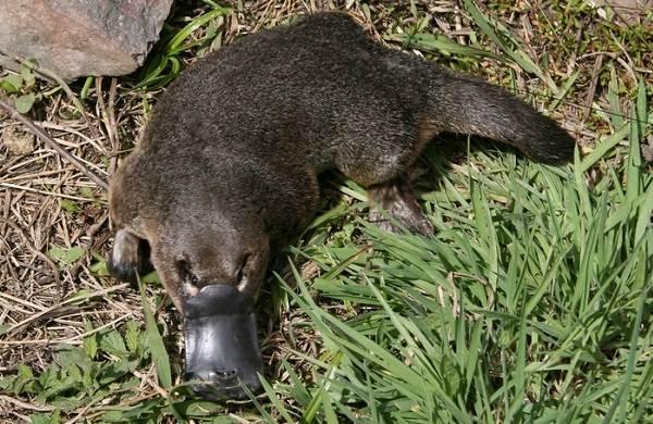 Животные-Австралии-Описание-названия-и-особенности-животных-Австралии-18