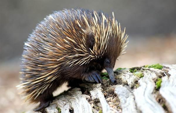 Животные-Австралии-Описание-названия-и-особенности-животных-Австралии-20