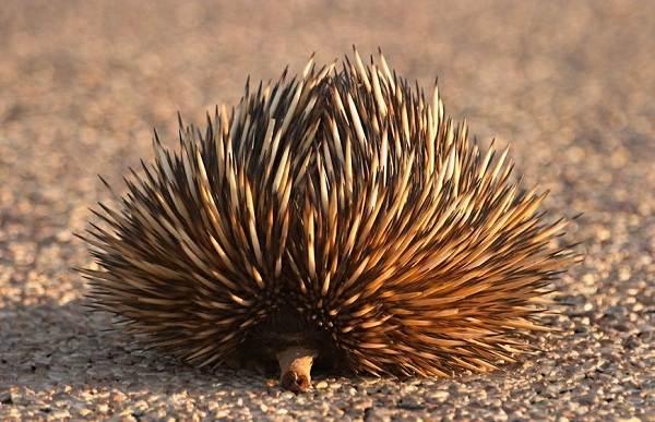 Животные-Австралии-Описание-названия-и-особенности-животных-Австралии-21