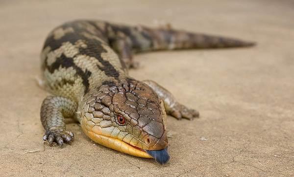 Животные-Австралии-Описание-названия-и-особенности-животных-Австралии-31