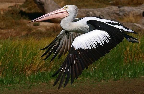 Животные-Австралии-Описание-названия-и-особенности-животных-Австралии-44