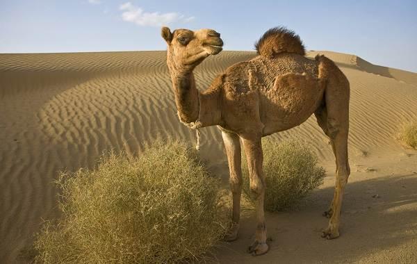 Животные-пустыни-Описания-названия-и-особенности-животных-пустыни-1