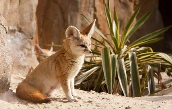 Животные-пустыни-Описания-названия-и-особенности-животных-пустыни-11