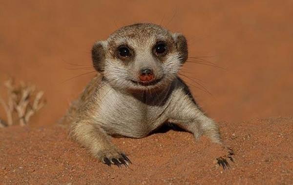 Животные-пустыни-Описания-названия-и-особенности-животных-пустыни-17