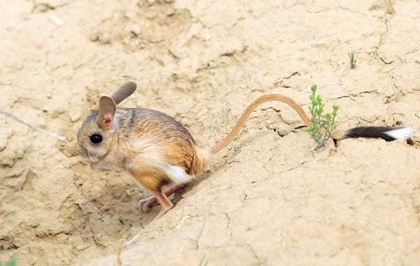 Животные-пустыни-Описания-названия-и-особенности-животных-пустыни-21