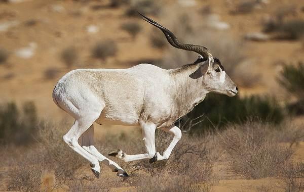 Животные-пустыни-Описания-названия-и-особенности-животных-пустыни-25