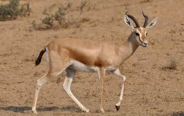 Животные-пустыни-Описания-названия-и-особенности-животных-пустыни-27
