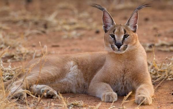 Животные-пустыни-Описания-названия-и-особенности-животных-пустыни-3