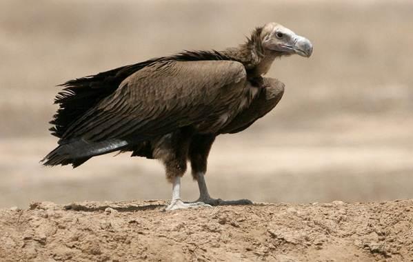 Животные-пустыни-Описания-названия-и-особенности-животных-пустыни-33