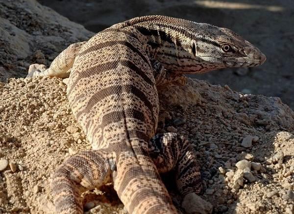 Животные-пустыни-Описания-названия-и-особенности-животных-пустыни-43