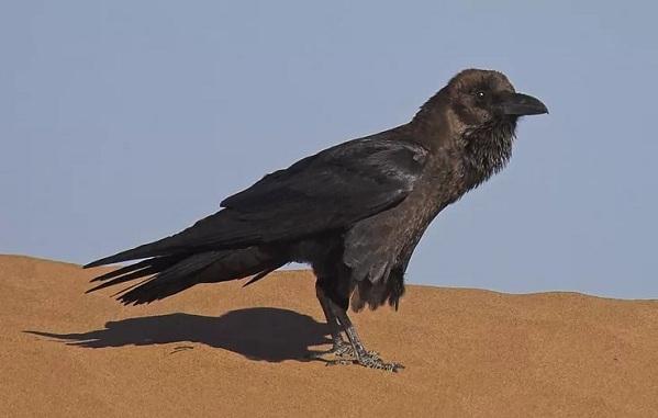 Животные-пустыни-Описания-названия-и-особенности-животных-пустыни-65
