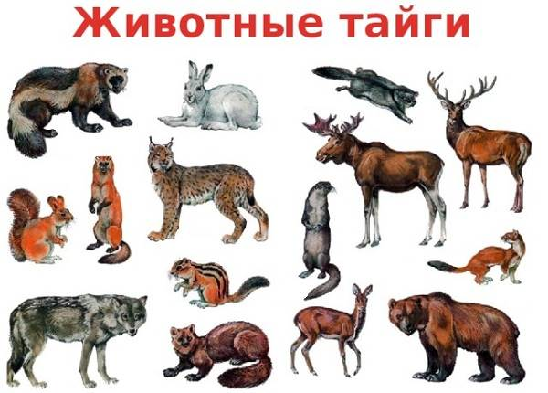 Животные-тайги-Описание-названия-и-особенности-животных-тайги-1
