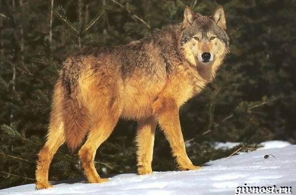 Животные-тайги-Описание-названия-и-особенности-животных-тайги-15