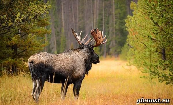 Животные-тайги-Описание-названия-и-особенности-животных-тайги-20