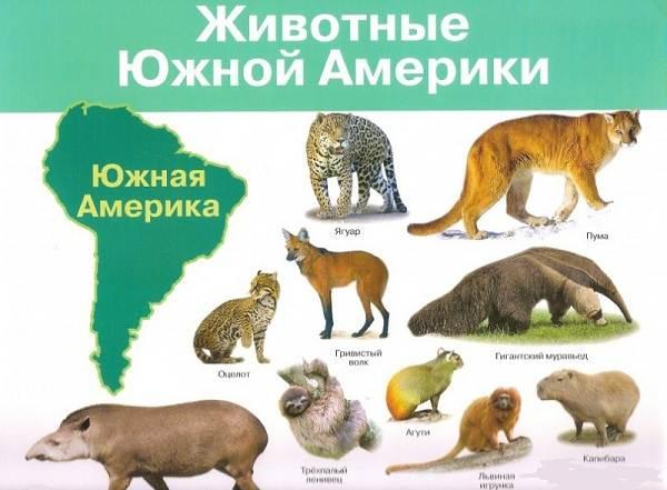 Животные-Южной-Америки-Описание-названия-и-виды-животных-Южной-Америки-1