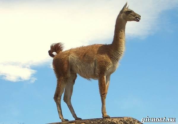 Животные-Южной-Америки-Описание-названия-и-виды-животных-Южной-Америки-18