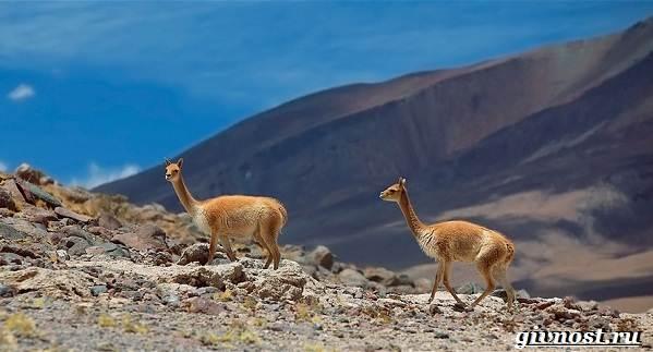 Животные-Южной-Америки-Описание-названия-и-виды-животных-Южной-Америки-28