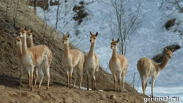 Животные-Южной-Америки-Описание-названия-и-виды-животных-Южной-Америки-29