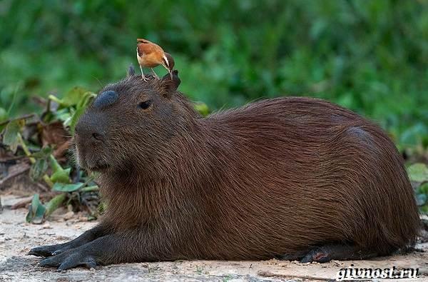 Животные-Южной-Америки-Описание-названия-и-виды-животных-Южной-Америки-33